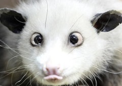 heidi l'oppossum