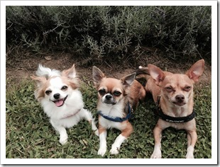 Les petits Chihuahuas à Nancy