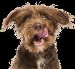 chien-brun